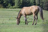 Beautiful quarter horse gelding grazing in a field