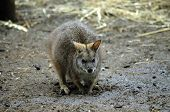 picture of tammar wallaby  - this is a close up of a tammar wallaby - JPG