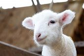 stock photo of farm animals  - baby sheep is standing and looking to front - JPG