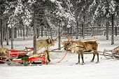 Two Reindeer With Sleds In Winter Arctic Forest