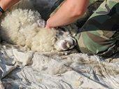 Alpaca Being Sheared On A Uk Alpaca Farm