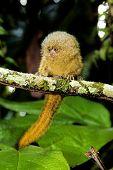 Pygmy Mormoset 0002