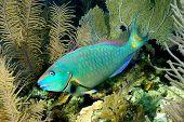 Princes Parrotfish