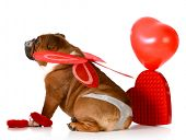 picture of thong  - cute valentine bulldog wearing a thong and angel wings on white background - JPG