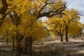 Poplar Tree In Autumn Season, Ejina, Inner Mongolia, China
