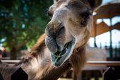Close up of an arabian camel eating green  grass