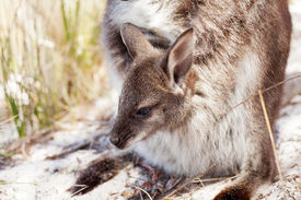 pic of wallabies  - Baby Bennetts Wallaby in mothers pouch Freycinet National Park Tasmania Australia - JPG