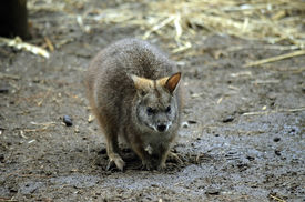 image of tammar wallaby  - this is a close up of a tammar wallaby - JPG