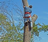 stock photo of tree trim  - man trimming tree on nice day - JPG