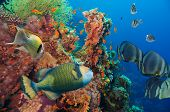 foto of fire coral  - Colorful underwater offshore rocky reef with coral and sponges and small tropical fish swimming by in a blue ocean - JPG