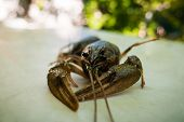 picture of crawdads  - Closeup shot of live crayfish before boiling - JPG