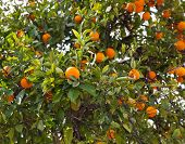 pic of tangerine-tree  - Brunches of tree with fresh tangerine fruits - JPG
