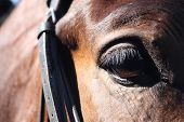 foto of bridle  - Close up of brown horse eye with bridle