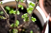 picture of bud  - currant shrub sprout in spring on the balcony in the sun. leaves and buds.