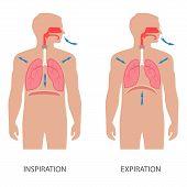 Постер, плакат: respiratory system anatomy