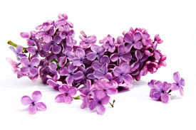 stock photo of floral design  - Lilac branch on a white background - JPG