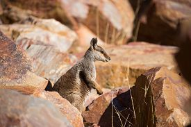 image of wallabies  - A rare sighting of a rock wallaby amongst rocks in a cliff face at Ormiston Gorge in Northern Territory - JPG