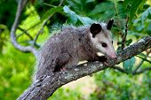 stock photo of opossum  - baby opossum sitting on a branch looking down  - JPG
