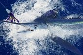 Beautiful white marlin real bill fish on atlantic water sport fishing