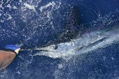 Beautiful white marlin real bill fish on atlantic water sport fishing