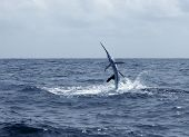 stock photo of sailfish  - Sailfish saltwater sport fishing jumping - JPG