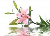 stock photo of day-lilies  - lily flower reflected in water on white - JPG