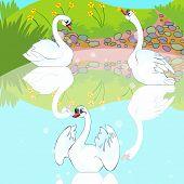 Swans swim in lake.