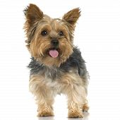stock photo of hairy tongue  - Adult Yorkshire Terrier sticking the tongue out in front of a white background - JPG