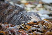Sleeping Wild Seal