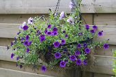 Hanging Basket With Purple Flowers