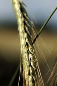 Closeup Wheat Grain