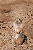 Prairie Dog (Cynomys ludovicanus) Blends With Background