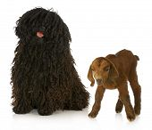 herding dog - corded puli with young goat on white background