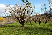Cherry farm orchard near Hood River OR.