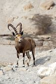foto of nubian  - Nubian ibex in Ein Gedi at the Dead Sea - JPG