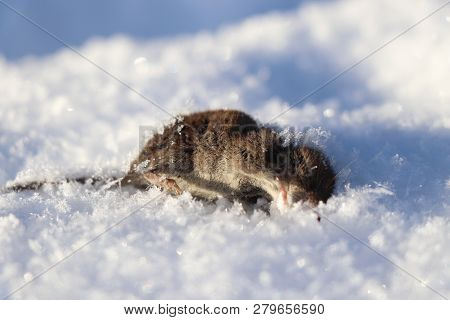 A Death Grey Mouse Lying