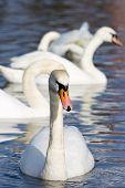 Beautiful White Swans