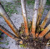 pic of splayed  - Base of Florida palms shooting up from the dirt and splaying outward - JPG