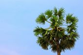 Borassus Flabellife Known As Doub, Palmyra Or Tala Palm, Toddy Palm, Wine Palm Or Ice Apple On Blue  poster