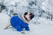 Pug Dog Walking On Snow In Park. Puppy Wearing Winter Coat poster
