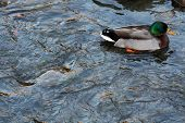 Male Duck Swimming In A River