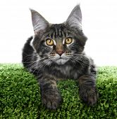 Maine Coon kitten. Age - 3 month