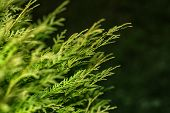 Background From Thuja Branches. Thuja Branches In The Dark. The Green Branches . Green Nature Backgr poster