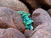 Plant In Boulders