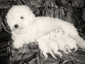 "image of bichon frise dog  - ""No time to think about hair stile!""