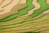 Gold Terraced Rice Fields With Houses On Stilts In Mu Cang Chai, Vietnam