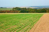 Borde de campos de trigo sembradas cerca del bosque