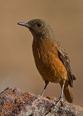 Cape Rock-Thrush Female