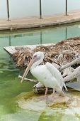A pelican.