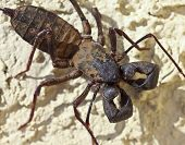 A Vinegaroon, Also Known As Whip Scorpion